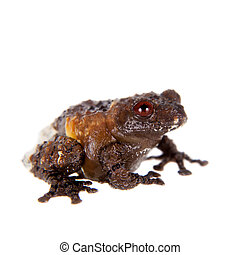 Asian bird poop frog, Theloderma asperum, on white - Asian...
