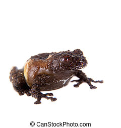 Asian bird poop frog, Theloderma asperum, on white - Asian...