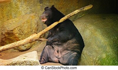 Asian Black Bear Scratches Back with Log at Chiang Mai Zoo in Thailand