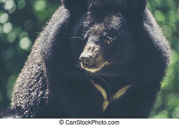 Asian black bear, Ursus thibetanus
