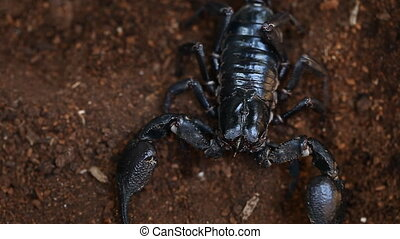 Asian black scorpion in Thaialnd close-up footage