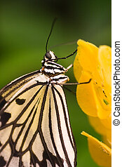 Asian butterfly Idea leuconoe