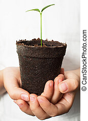 Asian Child hands holding lemon seedling in brown peat pot