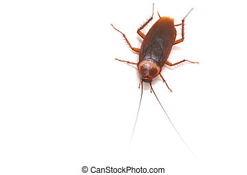 asian cockroach on white - large asian flying cockroach ...