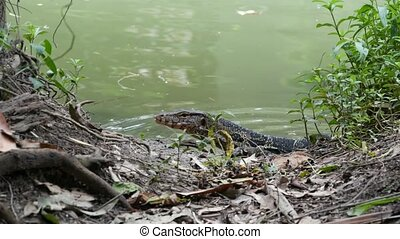 Asian common water monitor large varanid lizard native to ...