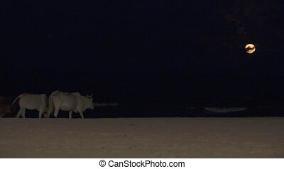 Asian cows walking at the beach under the moon