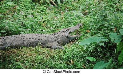 Asian crocodile