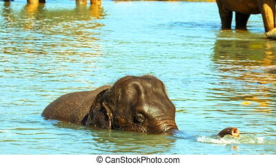Asian elephant bathing in the river
