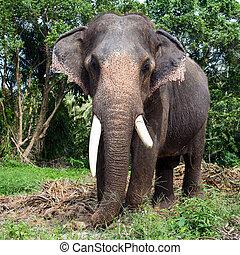 Asian elephant - Big elephant in the jungle, Thailand.