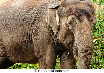 Asian elephant closeup