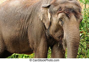 Asian elephant closeup