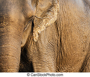 Asian elephant closeup shot