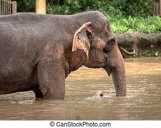 Asian elephant, Elephas maximus, taking a bath.