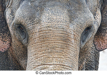 Asian Elephant Front Portrait