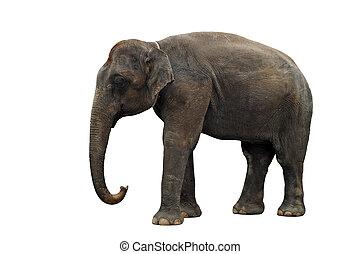asian elephant isolated on white