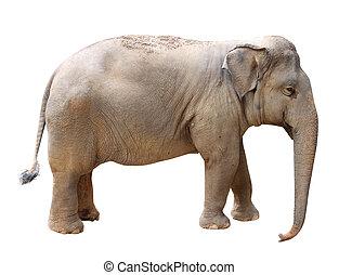 Asian Elephant, isolated on white background
