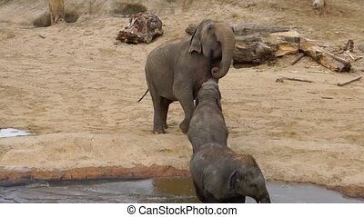Asian elephant mother interacting with her child, intimate animal behavior, Endangered specie from Asia