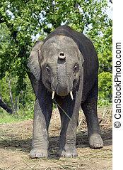 Asian Elephant of Nepal
