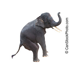 asian elephant isolated in white