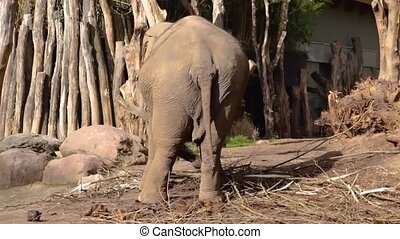 Asian elephant swaying around, Asiatic elephant from behind wobbling, Endangered animal specie from India animal behavior