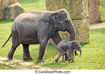 Asian elephant with calf in the zoo