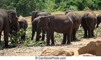 Asian elephants eating in Yala National Park