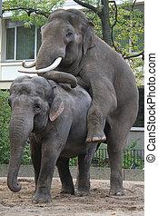 Asian elephants in love