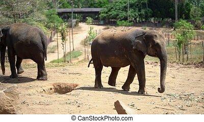 Asian elephants walking in Yala National Park