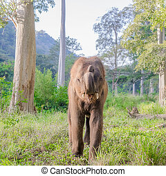 asian elephent in thailand