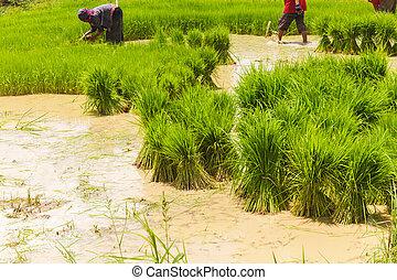 Asian farmer working on rice field