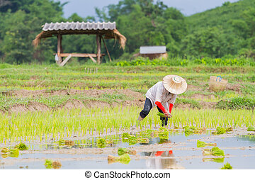 asian farmer working paddy cultivation in the rice field,  Thailand