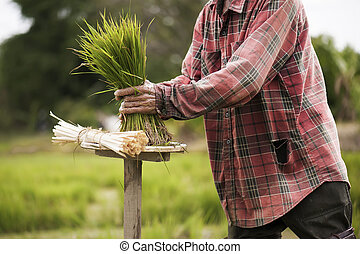 Asian farmers withdraw seedlings to grow rice in rainy season It is a way of life in the countryside.