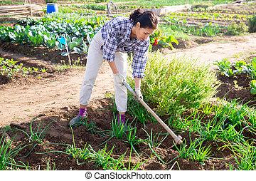 Asian female amateur gardener weeding scallions in kitchen garden