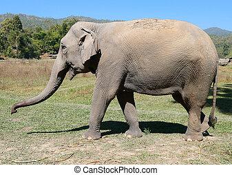 Asian female elephant