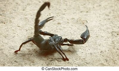 Asian forest scorpion (Heterometrus) In the position of ...