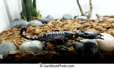 Asian forest scorpion (Heterometrus laoticus)