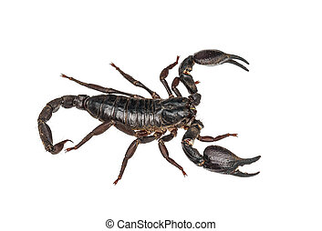 Asian giant forest scorpion (Heterometrus laoticus) isolated...