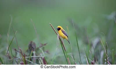 Asian Golden Weaver (Ploceus hypoxanthus) in Thailand