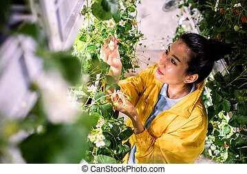 Asian greenhouse worker looking at strawberry while taking care of green crops