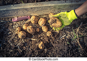 Asian lady hand with gloves holding harvested organic potatoes from patch garden