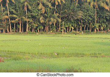 Asian openbill in rice field