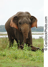 Asian or Asiatic Elephant (Elephas maximus) in national park Minneriya, Ceylon