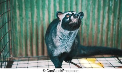 Asian palm civet kept in cage on the coffee plantation