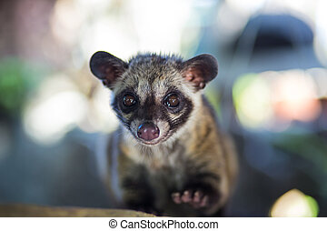 Asian Palm Civet - animal who produce the most expensive...