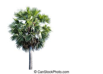 Asian Palmyra palm, Sugar palm, on white sky background, With copy space