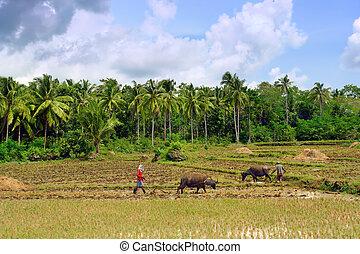 Asian primitive farming - Asian farmers ploughing rice field...