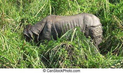 Asian rhino eating green Grass. Chitwan National Park, Nepal.