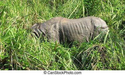 Asian rhino eating green Grass. Chitwan National Park,...