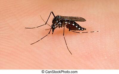 Asian Tiger Mosquito sucking blood on human skin (albopictus)