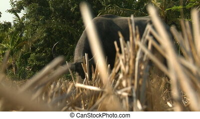 Asian Water Buffalo Obscured By Stalks - Handheld, medium...